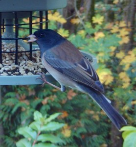 Dark-eyed Junco AutoFeeder