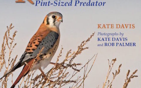 American Kestrel cover