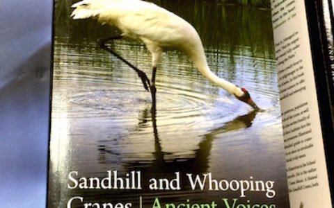 Sandhill Whooping Cranes